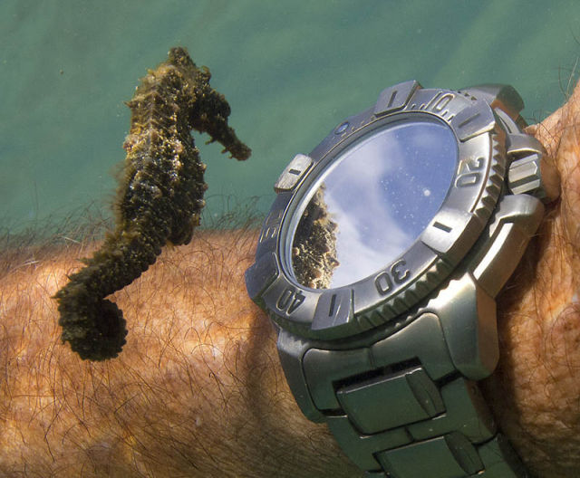 01-A-seahorse-inspects-a-diver039s-watch[1]