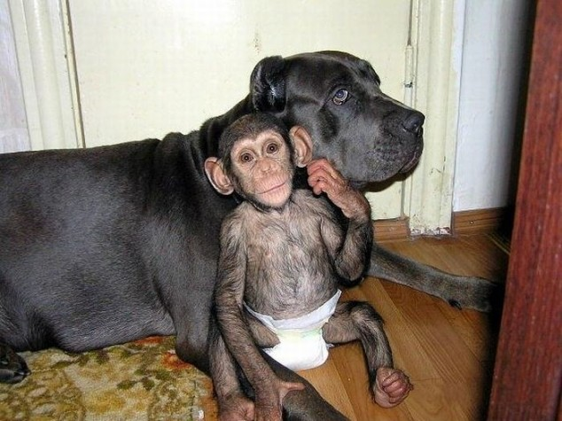 The chimp instantly wanted to be near the dog