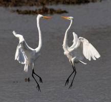 A pair of great egrets