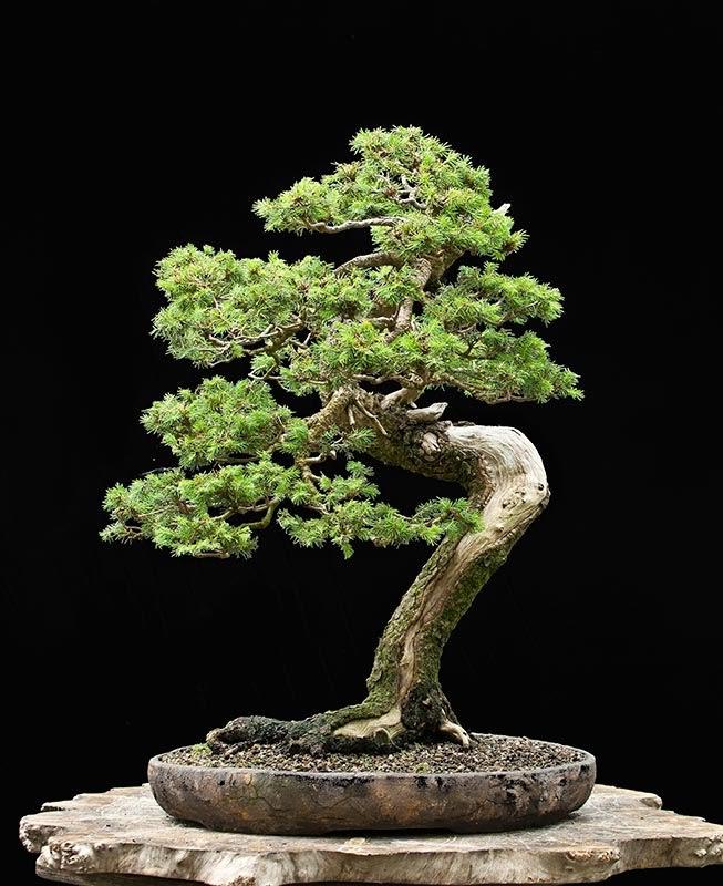 European spruce,
