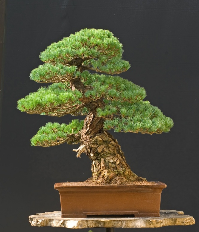 Bonsai - pinus pentaphylla