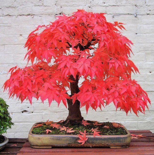 Maple tree bonsai