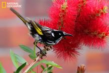 The New Holland honeyeater