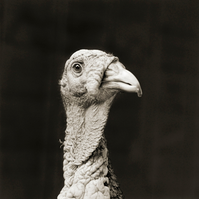 Marino, Bronze Turkey, Age 5