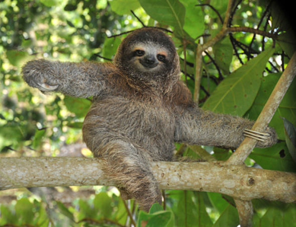 Sloth - Amazon, Ecuador