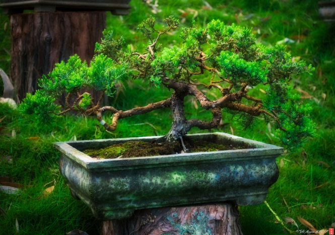 Bonsai and Men