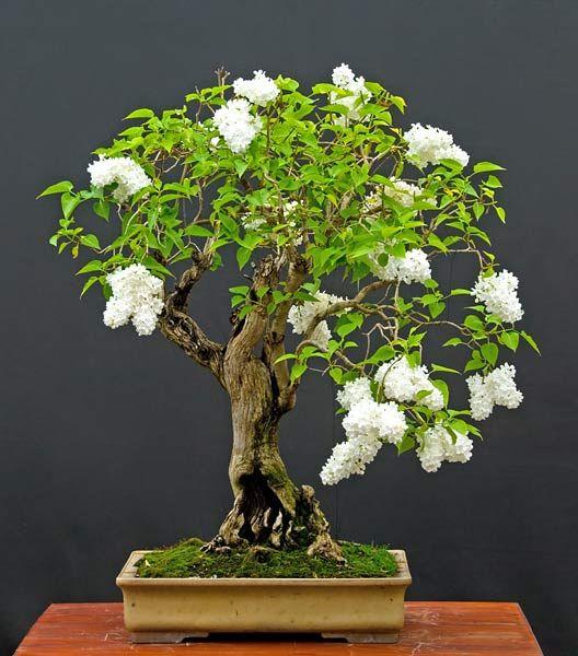 Aussiegirl lilac bonsai