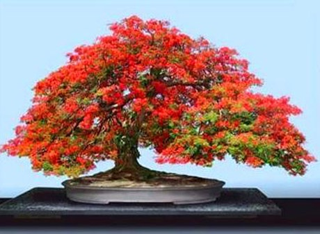 Bonsai (a dwarf miniature potted tree),Japan