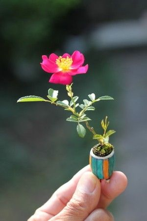 Small Rose Bonsai
