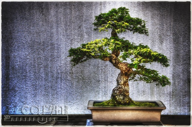 Timeless Bonsai Trees