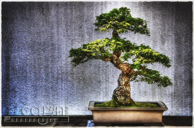 Timeless Bonsai Trees