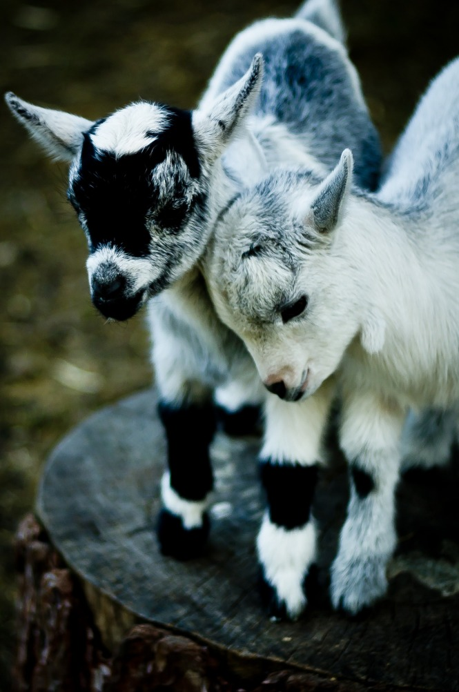 The most beautiful goats I've ever seen