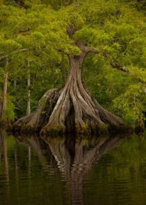 Cypress roots reflected in the water - Great Dismal Swamp, Virginia