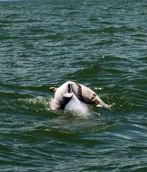 DOLPHIN IN DESPAIR