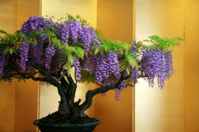 Chinese Wisteria Vine, Very Fragrant, Grow as a Bonsai,