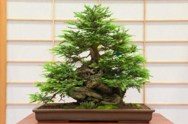 Choosing the Right Bonsai Tree for You