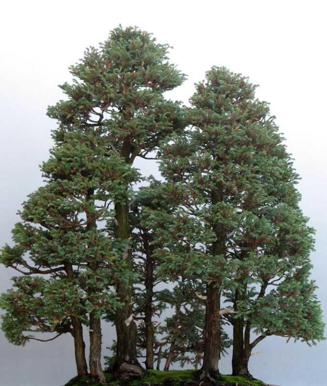 World%E2%80%99s-tallest-tree-bonsai-version8-650x768[1]