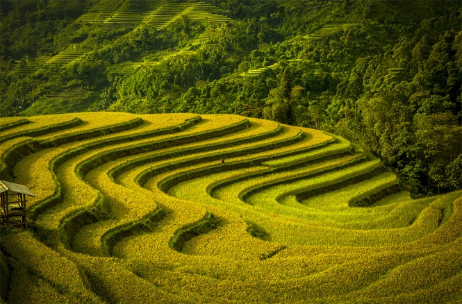 Terraced fields during harvest season.