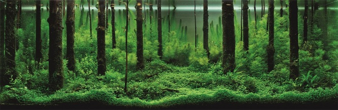Forest Morning: designed by Pavel Bautin of Saint Petersburg, Russia. The 400 liter tank is pictured after 6 months of growth. There are 8 types of plants.