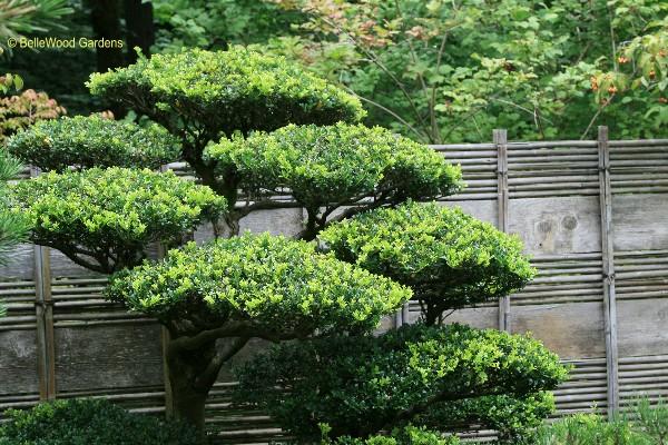 Japanese Garden cloud pruned tree