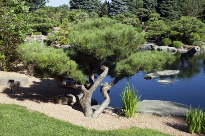 A short tree in front of a body of water at the Shofu-en (the Garden of Wind and Pine) Japanese Garden at the Denver Botanic Gardens.
