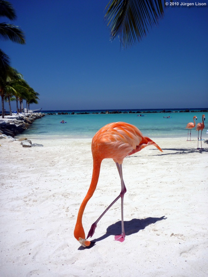 A Flamingo walking on the beach named after them on Renaissance Island - in front of the Aruba coast line at the side of the Airport