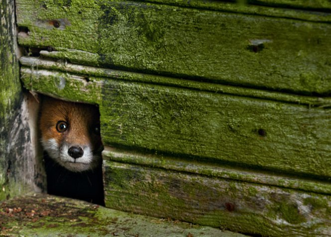 A fox pup peeks out from a cat door in a dilapidated shed