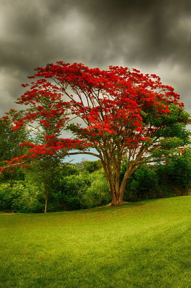 Flamboyan Tree